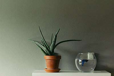 Close-up of potted plant by fish tank on table against wall - p1166m1542184 by Cavan Social