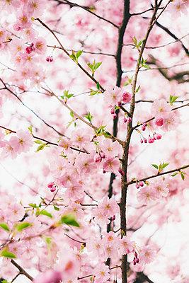 Almond blossoms - p1184m1008114 by brabanski