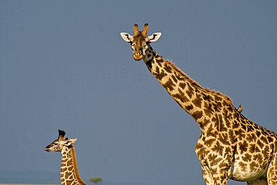Giraffe - p5330148 by Böhm Monika