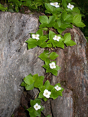 Bunchberry dogwood plant blooming in spring, Gaspesie National Park, Quebec, Canada - p6070556 by Philippe Henry