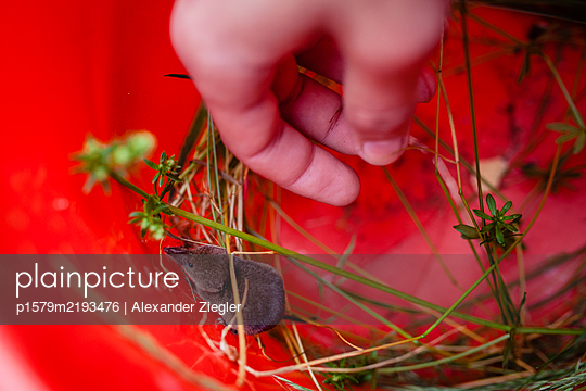 Shrew in red bucket - p1579m2193476 by Alexander Ziegler