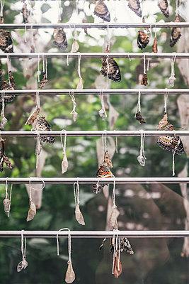 Verpuppung von Schmetterlingen  - p1046m1220950 von Moritz Küstner
