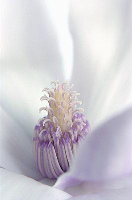 Magnolie - p1210m1561996 von Ono Ludwig