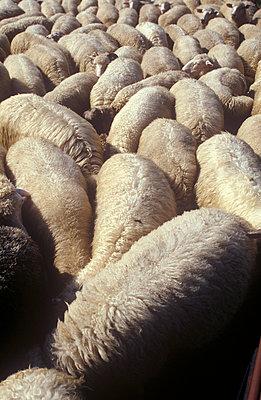 Schafe beim fressen - p2600033 von Frank Dan Hofacker