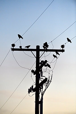 Birds perched on electrical wires - p1048m2202394 by Mark Wagner