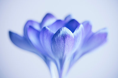 Close up of purple crocus flowers with a blurred background - p1302m2063618 by Richard Nixon