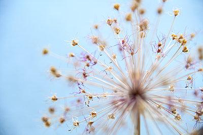 Wilted allium flower - p427m2206488 by Ralf Mohr