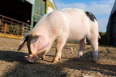 Schwein - p1057m1072061 von Stephen Shepherd