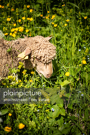 Single sheep feeding on grass - p1007m2216483 by Tilby Vattard