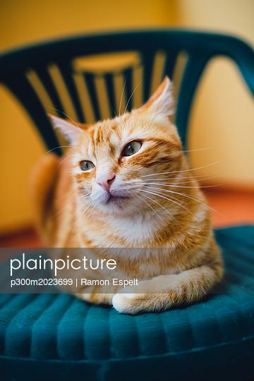 Portrait of ginger cat resting on a chair - p300m2023699 von Ramon Espelt