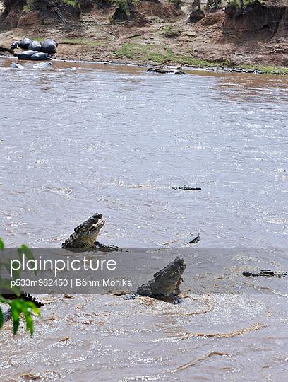 Fressende Krokodile - p533m982450 von Böhm Monika