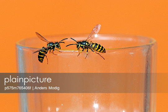 Two wasps crawling on glass - p575m765406f by Anders Modig