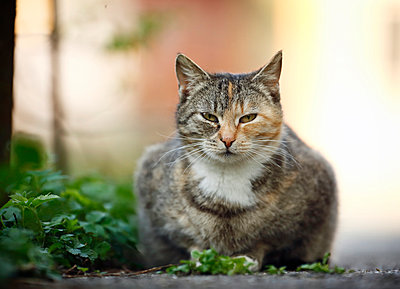 Tabby cat lying at wayside - p300m982026f by Silke Klewitz-Seemann