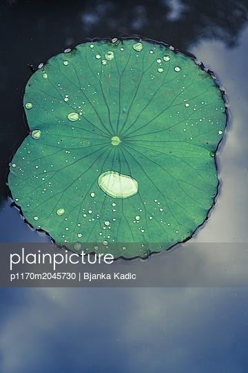 Water lily pad - p1170m2045730 by Bjanka Kadic