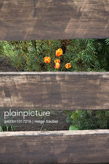 Tulips - p403m1017216 by Helge Sauber