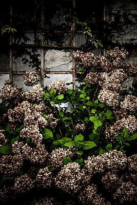 Verwelkte Hortensien - p248m1355243 von BY