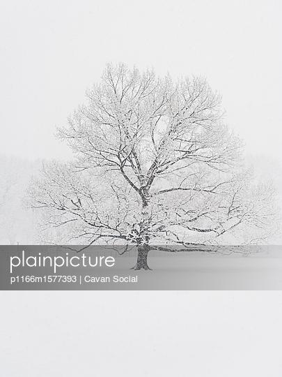 plainpicture - plainpicture p1166m1577393 - Bare tree on snow covered f... - plainpicture/Cavan Images/Cavan Social