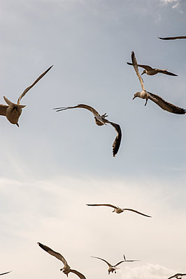 Gulls in flight against an overcast sky - p1047m1169639 by Sally Mundy
