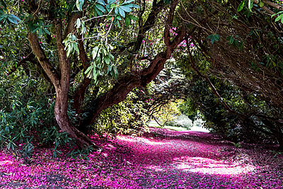 Landscape view with lush trees and bright pink blossoms covering a path. - p1100m2010759 by Mint Images