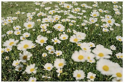 Meadow with daisies - p1564m2278215 by wpsteinheisser