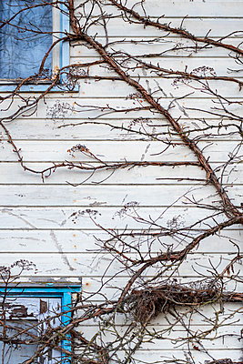 Climbing plant on abandoned building - p971m2229868 by Reilika Landen