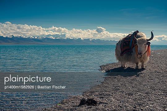 Ein Yak am Namco See in Tibet, dem zweitgrößten Salzsee Chinas - p1400m1582926 von Bastian Fischer