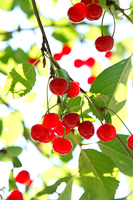 Cherries - p249m661214 by Ute Mans