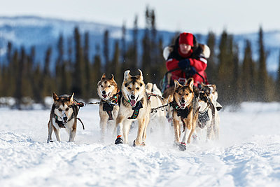 Aliy Zirkle runs on the trail just prior to the Cripple checkpoint during Iditarod 2016, Alaska.     - p442m1193236 by Design Pics
