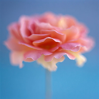 Pink rose with blue background - p4950152 by Jeanene Scott