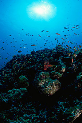 Underwater scene of a reef surrounded by crimson sea bream - p5142739f by Kazuya Tanaka