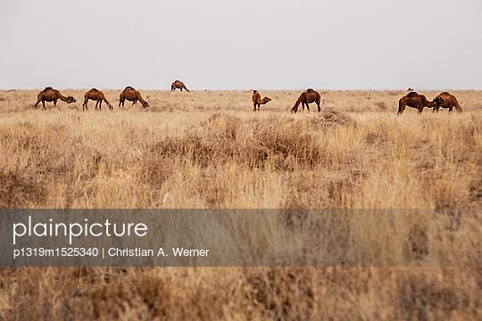 Kamele in der Steppe - p1319m1525340 von Christian A. Werner