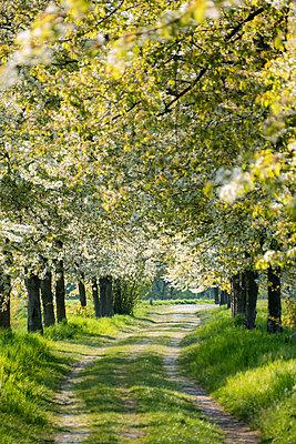 Blühende Obstbäume - p739m1134300 von Baertels