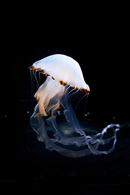 Jellyfish - p851m2077309 by Lohfink