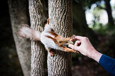 Person füttert Eichhörnchen - p1046m1138236 von Moritz Küstner