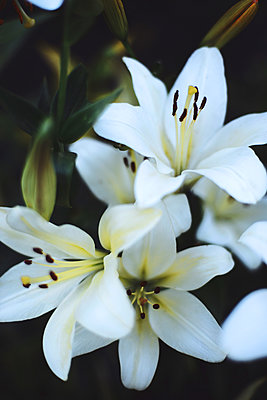 White lilium in bloom in sunset light. - p1166m2106375 by Cavan Images