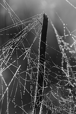 Taubedeckte Spinnweben an einem Pflanzenstängel - p235m877590 von KuS