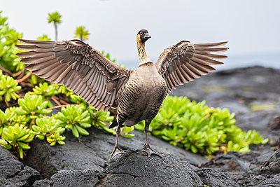 USA, Hawaii, Big Island, Volcanoes National Park, Hawaiian goose spreading wings - p300m2103317 by Fotofeeling