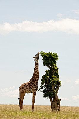 National park in Kenia - p5330280 by Böhm Monika