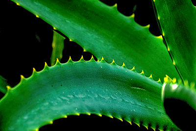Aloe vera plant - p924m2018656 by PhotoStock-Israel