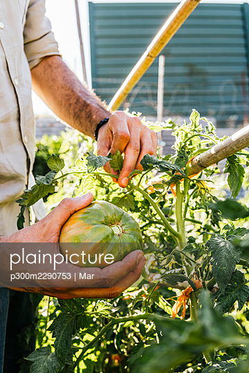 Young man picking raw beefsteak tomato in vegetable garden - p300m2290753 by Mar