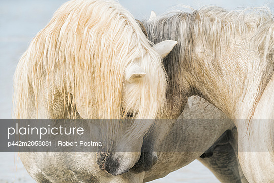Camargue horses nuzzling each other; Camargue, France - p442m2058081 by Robert Postma