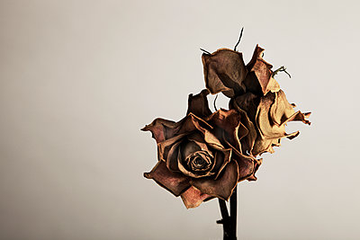Two Dried Roses - p1072m899622 by Martin Ward
