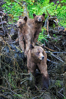 Canada, Khutzeymateen Grizzly Bear Sanctuary, Female grizzly bear with offspring - p300m981472f by Fotofeeling