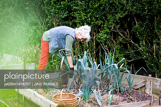 Mature woman tending leeks in garden - p429m1418357 by JAG IMAGES