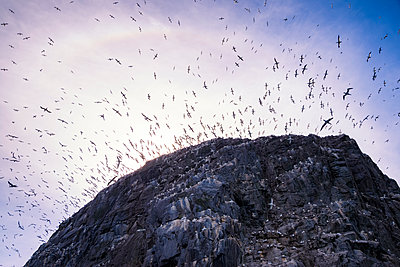 UK, Scotland, East Lothian, Bass Rock with a colony of Northern Gannets - p300m1206391 by Scott Masterton