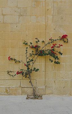 Kletterpflanze - p970m1110767 von KATYA EVDOKIMOVA