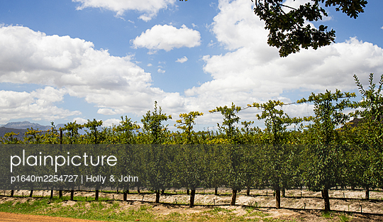 Grape vines in a row in a vineyard - p1640m2254727 by Holly & John