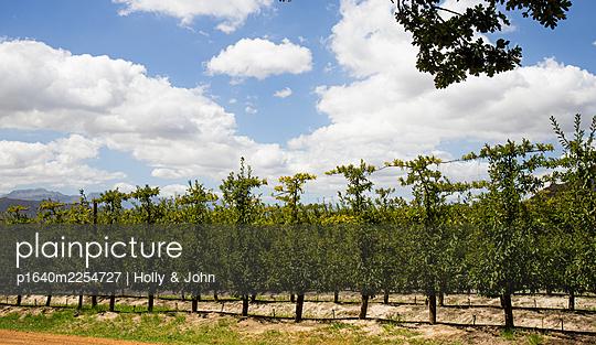 Weinstöcke in einer Reihe in einem Weingarten - p1640m2254727 von Holly & John