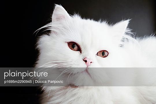 White kitten, close-up - p1695m2290945 by Dusica Paripovic