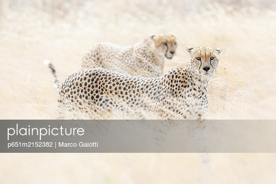 Cheetahs (acinonyx jubatus) hunting in the serengeti plain, Tanzania - p651m2152382 by Marco Gaiotti